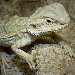 Bearded Dragon - Hypo/Juvenile (Pogona vitticeps) LARGE