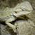 Bearded Dragon - Hypo/Juvenile (Pogona vitticeps) SWATCH