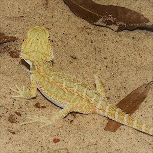 Bearded Dragon - Hypo/High Colour/Juvenile (Pogona vitticeps) LARGE
