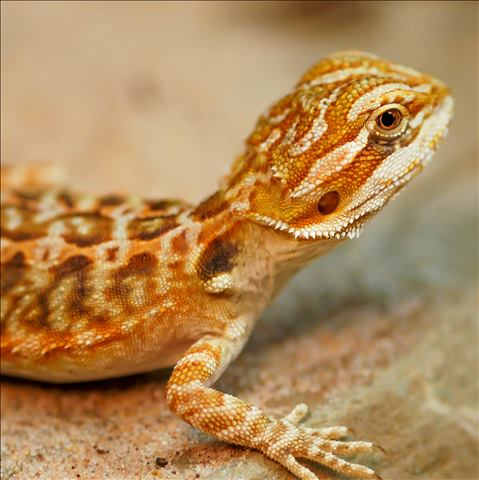 Bearded Dragon - High Colour/Leatherback/Juvenile (Pogona vitticeps) SWATCH