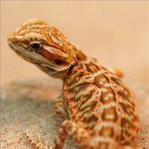 Bearded Dragon - High Colour/Leatherback/Juvenile (Pogona vitticeps) LARGE