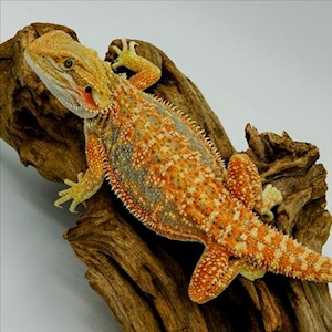 Bearded Dragon - Dunner/Juvenile (Pogona vitticeps) LARGE