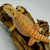 Bearded Dragon - Dunner/Juvenile (Pogona vitticeps) SWATCH