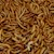 Regular Meal Worm - 100 Lot (Tenebrio molitor) SWATCH