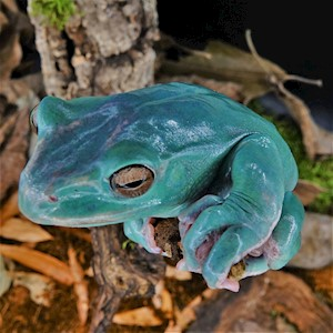 Frog - Tree/GiantVietnamese/Blue (Rhacophorus maximus) LARGE