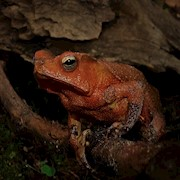 Toad - Crested (Rhinella margaritifer) THUMBNAIL