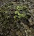 Frog - Vietnam Mossy (Theloderma corticale) SWATCH