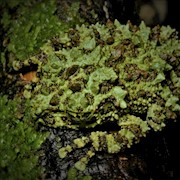 Frog - Vietnam Mossy (Theloderma corticale) THUMBNAIL