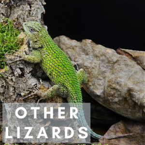 Other Lizards