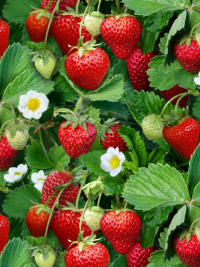 "Elizabeth's Studio ""Food Festival"" # 507-GREEN – ""Berry Good"" Strawberry Plants THUMBNAIL"