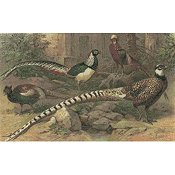 Cody Country Cross Stitch - Pheasants Galore