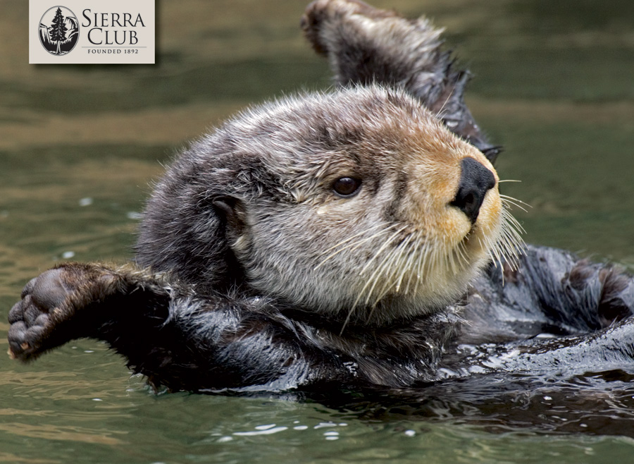 Sierra Club Otters Boxed Notecards