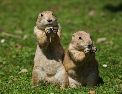 Adopt a Wild Animal Prairie Dogs