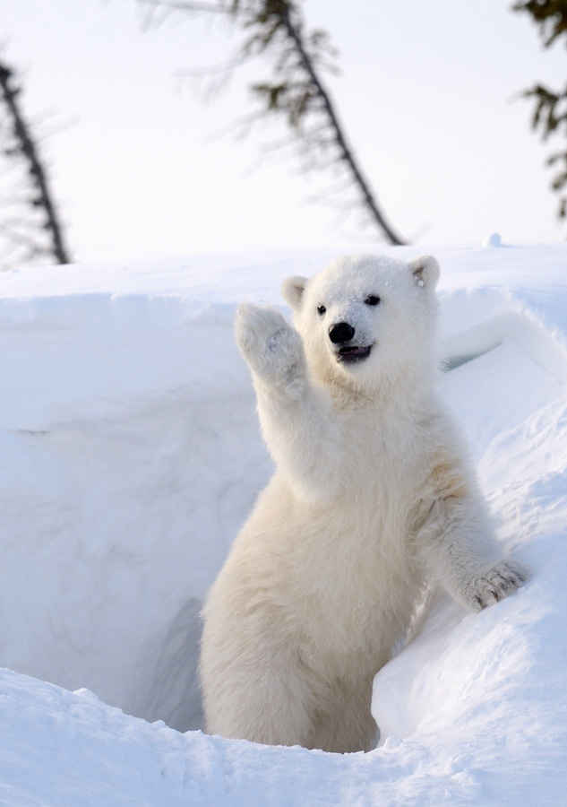 Sierra Club Polar Bear Cub Holiday Cards