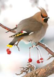 Sierra Club Bohemian Waxwing Holiday Cards