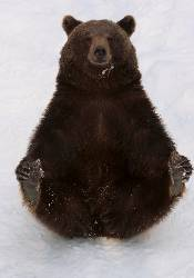 Sierra Club Brown Bear with Cold Feet Holiday Cards