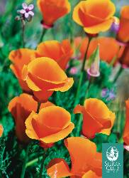 Sierra Club Poppies Boxed Notecards