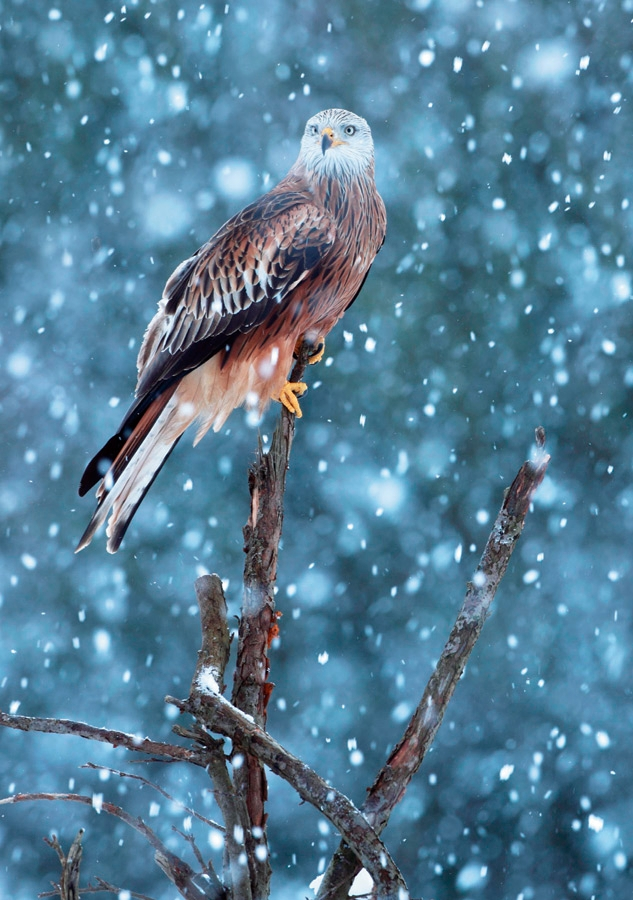 Sierra Club Red Kite in Snowstorm Holiday Cards