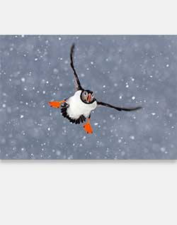 Sierra Club Atlantic Puffin Holiday Cards