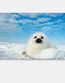 Sierra Club Harp Seal Pup Holiday Cards