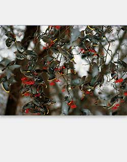 Sierra Club Bohemian Waxwings Feeding on Berries Holiday Cards
