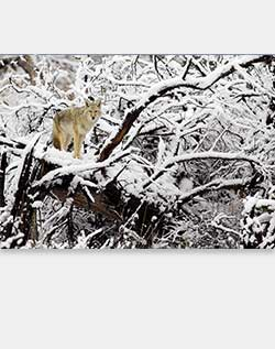 Sierra Club Coyote on Snow-Covered Tree Holiday Cards