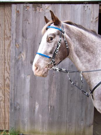 BRIDLE:  Beta Halterbridle with Colored Overlay- Side Snap Bit Style