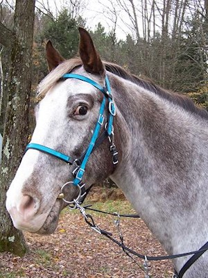 BRIDLE:  Beta Halterbridle with Colored Overlay and Snap Brow THUMBNAIL