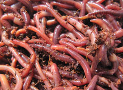 COMPOSTING WORMS MAIN
