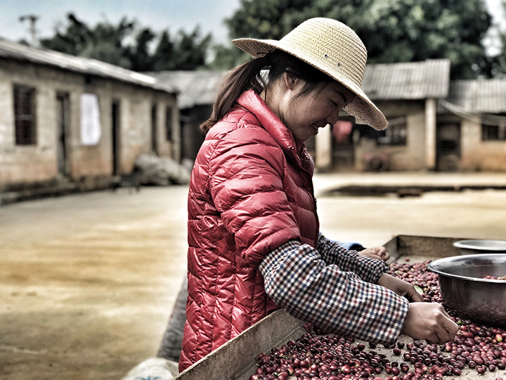 Coffee Cherries in Yunnan Province China