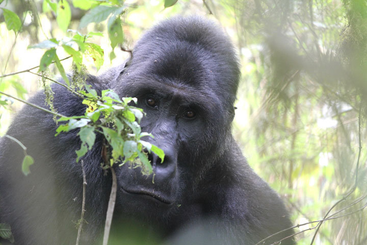 Grauer Gorillas in the Congo