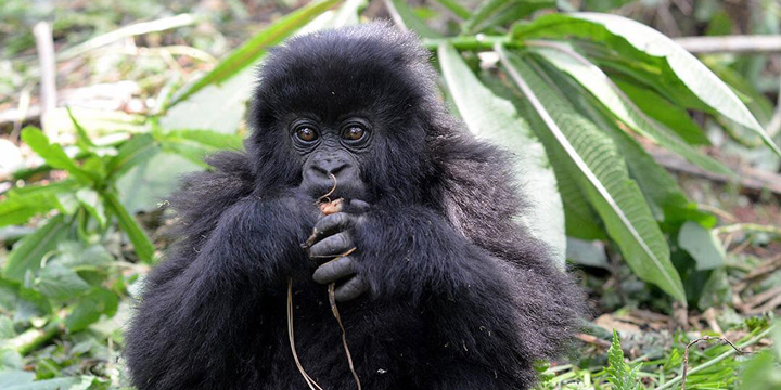 Cause Coffee, benefiting mountain gorillas