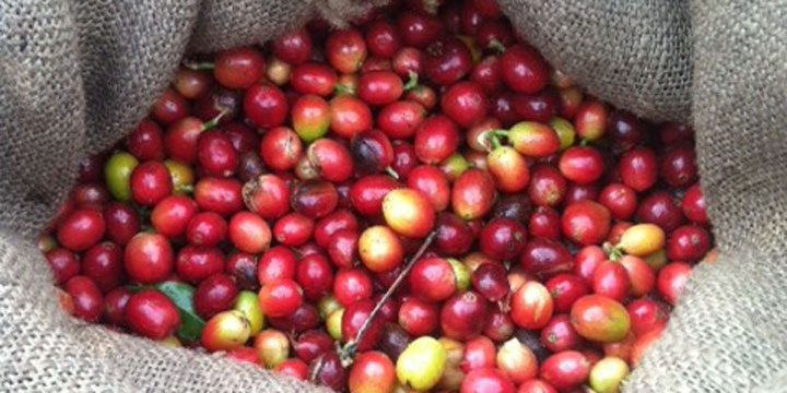 Organic Kona Coffee Cherries