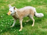 Coyote Decoy - Flambeau Master Series Lone Howler with Fur Tail for Hunting & Canada Geese Control_THUMBNAIL