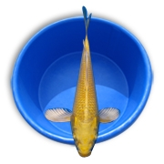 Live Butterfly Grade Koi Fish - Stocking Packs from Aquascape for Water Gardens & Ponds MAIN
