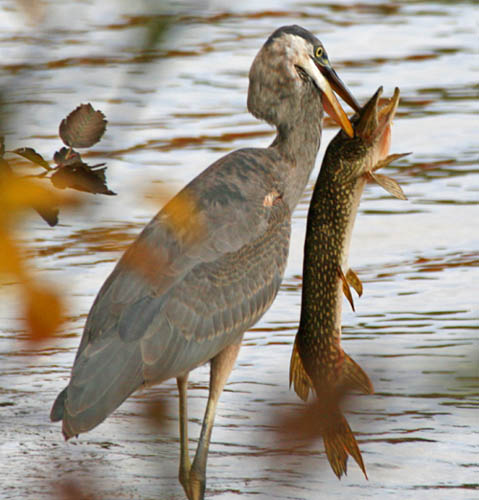 Predator Controls - Heron, Alligators, & Much More