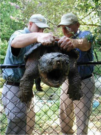 Big Snapping Turtle