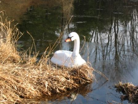 Floating Swan Decoy Set Includes 2 Medium Sized Swans /& 2 Large Mute Swans