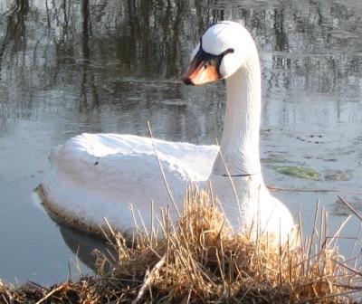 Floating White Swan Decoy for Canada Geese Control in Water Gardens & Ponds_THUMBNAIL
