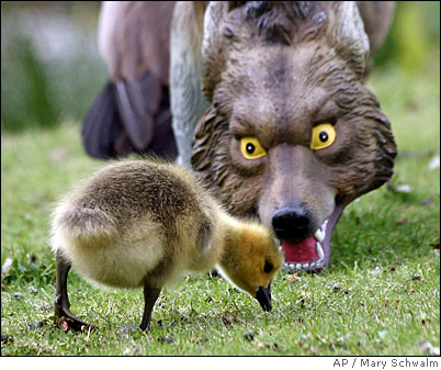 coyote & Chick