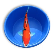 Live decorative grade straight fin koi fish stocking packs from aquascape for water gardens - Decoratie kooi ...
