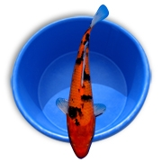 Live Elite Grade Straight Fin Koi Fish - Stocking Packs from Aquascape for Water Gardens & Ponds