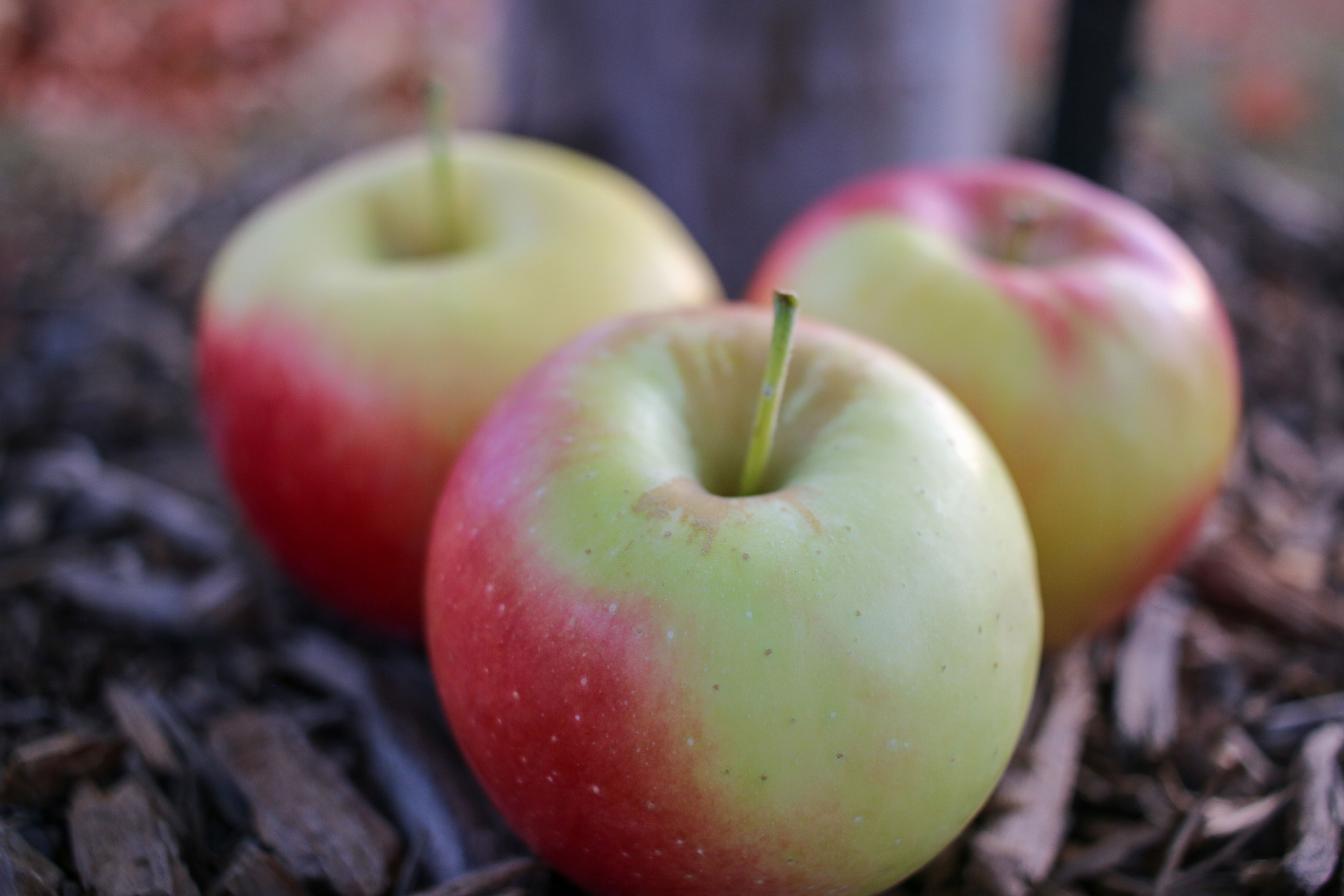 Orchard Fresh Ambrosia Apples in Wooden Bucket THUMBNAIL