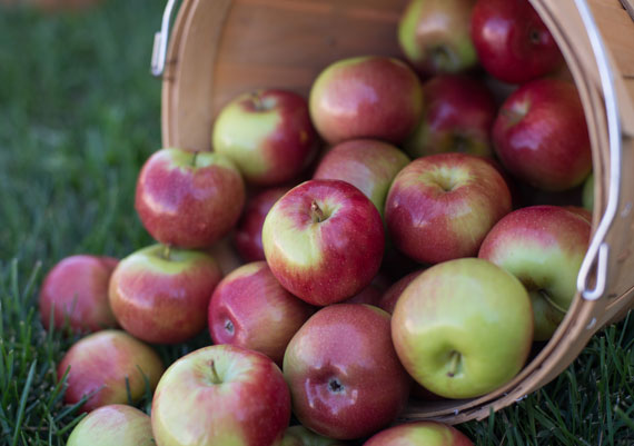 Orchard Fresh Empire Apples in Wooden Bucket THUMBNAIL