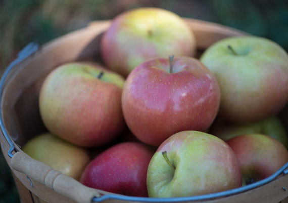Orchard Fresh Fuji Apples in Wooden Bocket